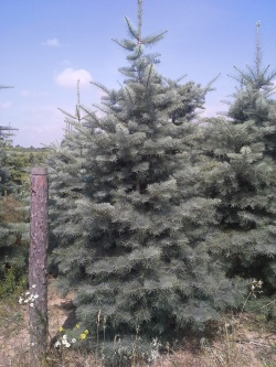 Abies concolor 175-350b