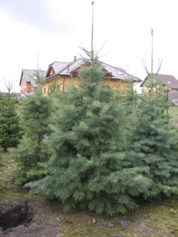 Abies concolor 250-275