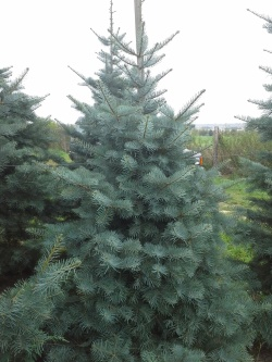 Abies concolor p