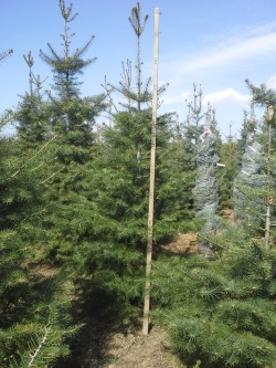 Abies concolor q