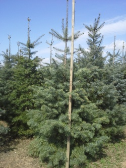 Abies concolor r