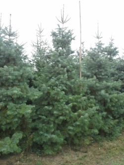 Abies concolor s