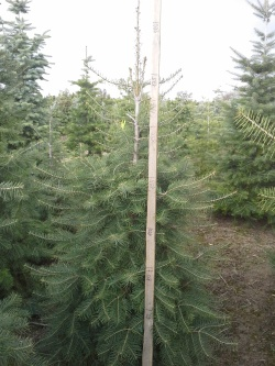 Abies concolor u