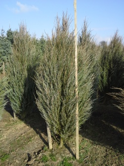Juniperus scopulorum blue Arrow c