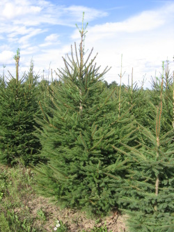 Picea abies 3