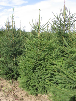 Picea abies 4 (2)