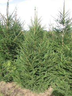 Picea abies 5 (2)