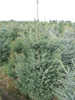 Picea glauca (2)