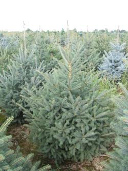 Picea glauca 3 (2)