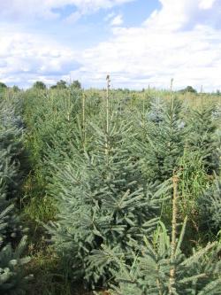 Picea glauca 4 (2)