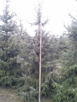 Picea omorika 300-350