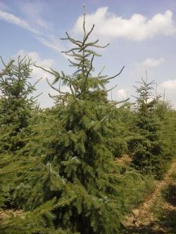 Picea omorika a (2)