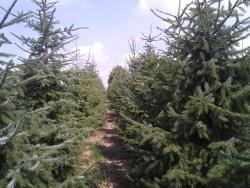 Picea omorika b (2)