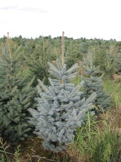 Picea pungens glauca 1