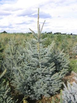 Picea pungens glauca 2 (2)