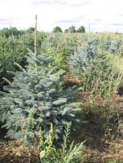 Picea pungens glauca 4