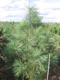 Pinus jeffreyi 1