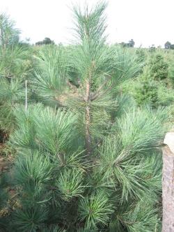 Pinus jeffreyi 2