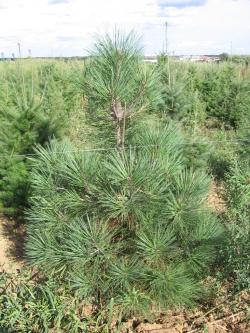 Pinus jeffreyi (3)