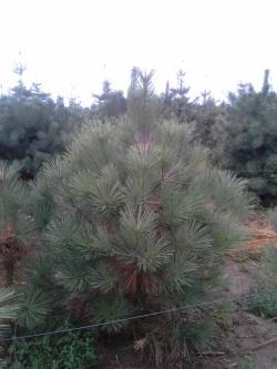 Pinus jeffreyi b