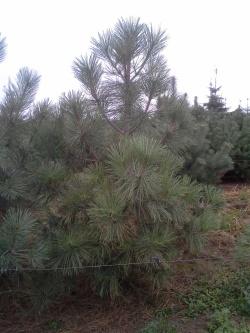 Pinus jeffreyi c (2)
