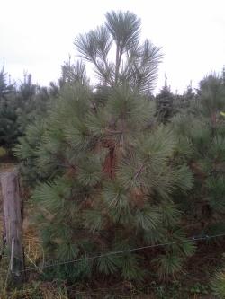 Pinus jeffreyi c