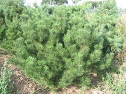 Pinus mugo 1