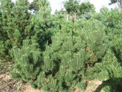 Pinus mugo 2