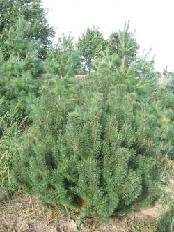 Pinus mugo 3