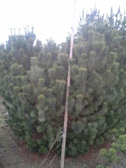 Pinus mugo c