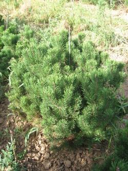 Pinus mugo pumilio 1