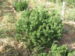 Pinus mugo pumilio 3