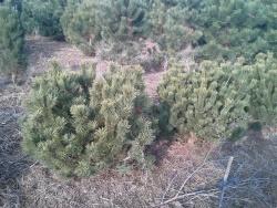 Pinus mugo pumilio c