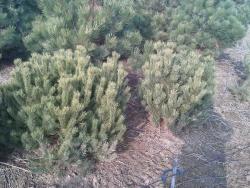 Pinus mugo pumilio d
