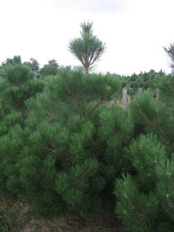 Pinus nigra 1