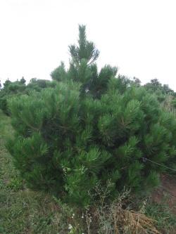 Pinus nigra 2