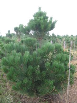 Pinus nigra 4