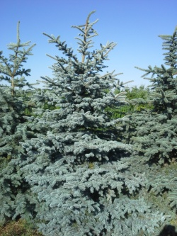 Picea pungens glauca a