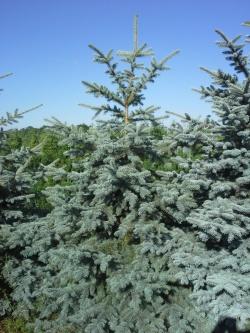 Picea pungens glauca b