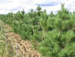 Pinus nigra austriaca (2)