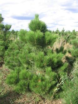 Pinus nigra austriaca 2