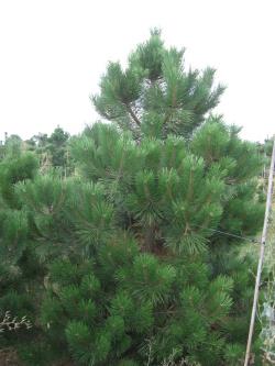 Pinus nigra austriaca 3