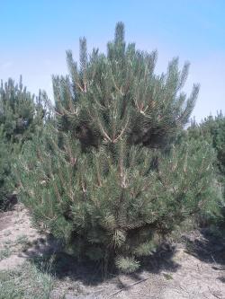 Pinus nigra austriaca výběr