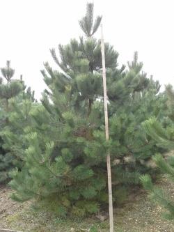 Pinus nigra austriaca v