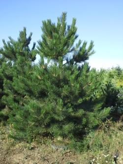 Pinus nigra b