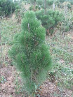 Pinus nigra pyramidalis 2