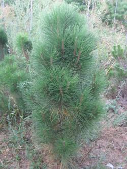 Pinus nigra pyramidalis (3)