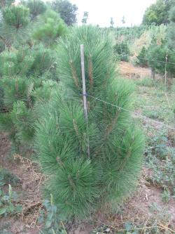 Pinus nigra pyramidalis 3