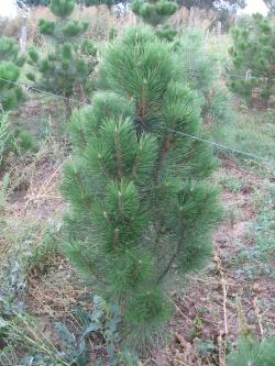 Pinus nigra pyramidalis 4