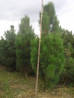 Pinus nigra pyramidalis a